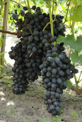 Купить саженцы и черенки винограда в Беларуси - www.vinogradar.by
