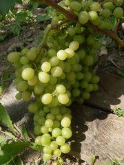саженцы винограда продам