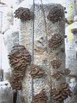 Блоки грибные вешенки.