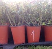 Оптовая продажа чайно-гибридных роз