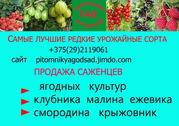 Саженцы крупноплодной клубники-почтой в Брест Минск Гомель Гродно Могилёв Витебск